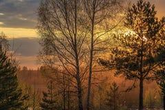 Sun en la puesta del sol brilla a través de las ramas de pinos y de abedules Fotos de archivo