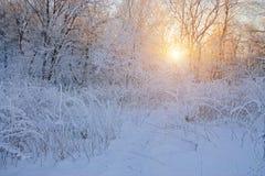 Sun&en x27; s-strålar till och med trädfilialer i vinter Royaltyfria Foton