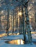 Sun es brillante a través del bosque del abedul Imagenes de archivo