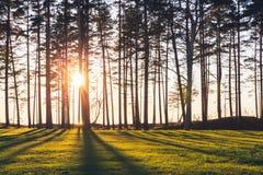 Sun está brilhando pinheiros da calha na costa de mar Imagens de Stock Royalty Free