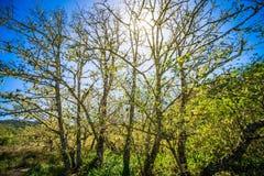 Sun est brillant par des arbres de cypres près des bois la Californie de muir Photo stock