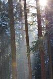 Sun et chute de neige dans la forêt Photos libres de droits