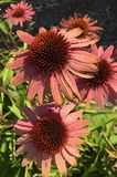 Sun Etched Coneflower. Tattered Purple Flower Stock Image