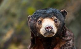 sun för björnhelarctosmalayanus Fotografering för Bildbyråer