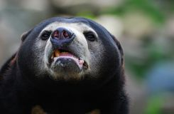 sun för björnhelarctosmalayanus Arkivbild