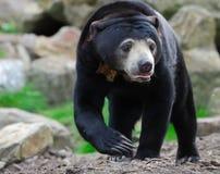 sun för björnhelarctosmalayanus Royaltyfri Foto