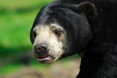 sun för björnhelarctosmalayanus Arkivfoton