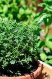 sun för florida oreganoväxt arkivbild