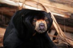 sun för malayanus för björnhelarctos malayan Arkivbilder