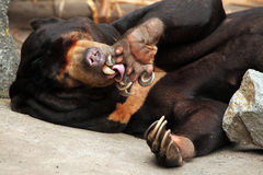 sun för malayanus för björnhelarctos malayan Arkivfoton