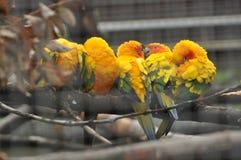 sun för solstitialis för aratingaconureparakiter Arkivbilder