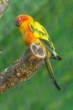 sun för solstitialis för aratingaconureparakiter arkivbild