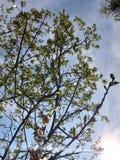 sun f?r bl? sky ljusa str?lar Tapetblommabakgrund blommar white bakgrund isolerad fj?dertreewhite som bakgrund ?r, kan filialen a fotografering för bildbyråer
