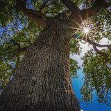 Sun faisant une pointe par des feuilles d'arbre image stock