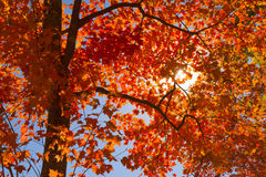 Sun through fall leaves Royalty Free Stock Photo