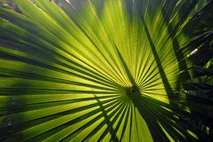 Sun Fan. Sun light radiating through a palm Royalty Free Stock Photography