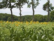 Sun-Felder Stockfotos