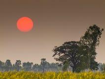 Sun fijó en el campo del Crotalaria Imagen de archivo libre de regalías
