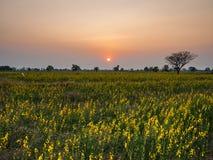 Sun fijó en el campo del Crotalaria Imagen de archivo