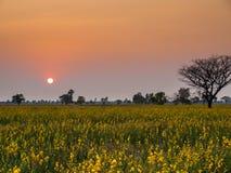 Sun fijó en el campo del Crotalaria Foto de archivo libre de regalías
