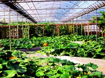 Sun-filled greenhouses. Green vegetables in the greenhouse Stock Photo