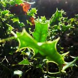 Sun filled Holly. The sun light contrasts vibrantly against the dark undergrowth Royalty Free Stock Photography