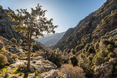 Sun filtering through a tree in the mountains of Corsica Royalty Free Stock Photos