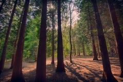 Sun filtrant à l'aide des arbres forestiers Photographie stock libre de droits
