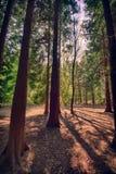 Sun filtrant à l'aide des arbres forestiers Photo libre de droits
