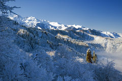 Sun firs. Sunlited firs in the snowy mountains Royalty Free Stock Photo