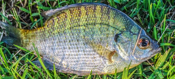 Sun fish. Laying in the grass at the lake Stock Images