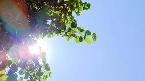 Green leaves of white mulberry against blue sky. Sun flare through green leaves of white mulberry tree or morus alba against blue sky. Copy space available stock video