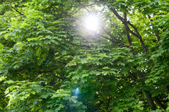 Sun flare through leafy green spring trees Stock Photography