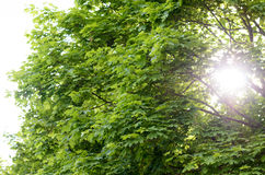 Sun flare through leafy green spring trees Royalty Free Stock Image