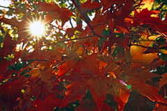 Sun flare with red maple leaves Royalty Free Stock Images
