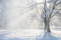 Sun flare through a snowy tree Royalty Free Stock Photo