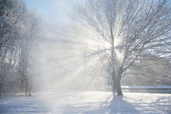 Sun flare through a snowy tree. Royalty Free Stock Photography