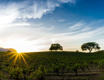 Sun flare at sunset over a Sonoma California vineyard Royalty Free Stock Images