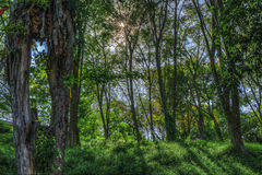 Sun Flares between the trees. The sun flares between the trees Royalty Free Stock Photos