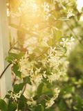Sun flaring through flowers. Royalty Free Stock Images