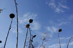 Sun fleurit des silhouettes sur un ciel bleu clair photographie stock