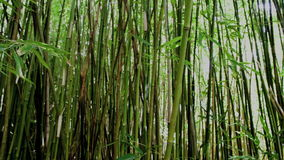 Sun flickering bamboo forest. Video of sun flickering bamboo forest stock footage