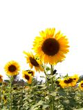 Sun Flower  03 Royalty Free Stock Photos