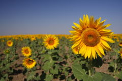 Sun flower. Field in a sunny June afternoon - Romania Royalty Free Stock Photography