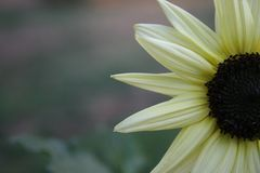 Sun Flower. Photo of a sun flower Royalty Free Stock Photography