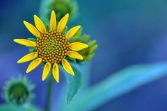 Sun Flower Stock Photography