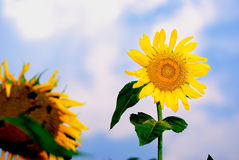 Sun flower royalty free stock photo