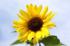 Sun-flower Imagens de Stock Royalty Free