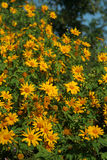 Sun flower Stock Image