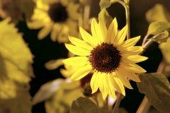 Sun-Flower royalty free stock photos